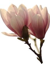 magnolie-2_173x220